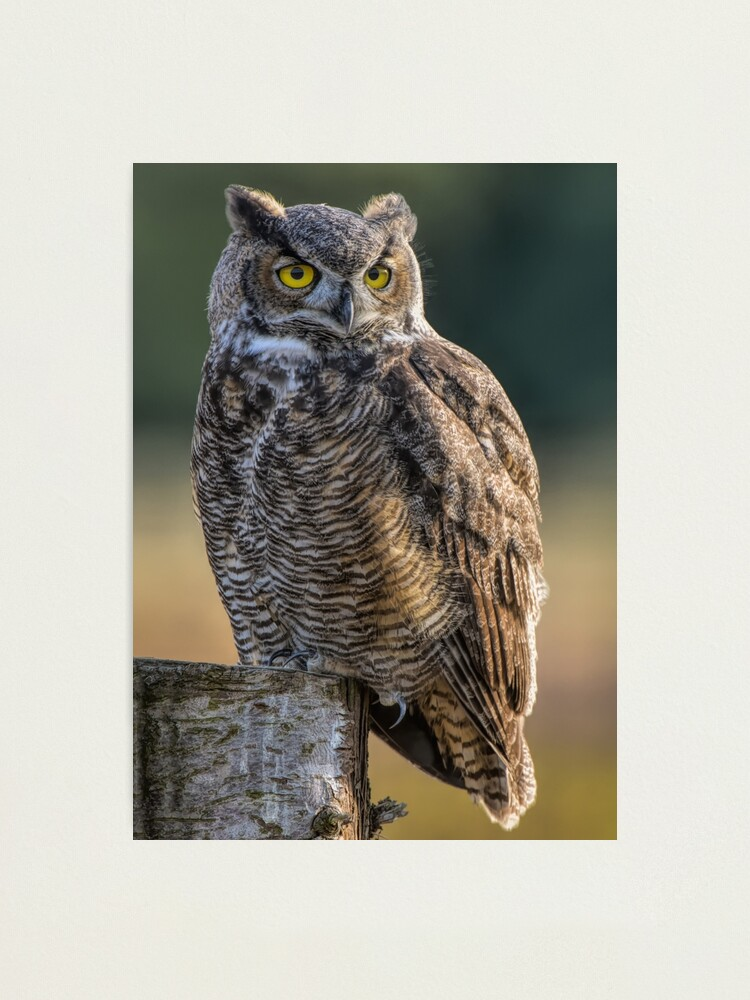 Alternate view of Great Horned Owl Photographic Print