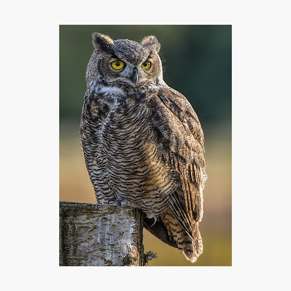 Great Horned Owl Photographic Print