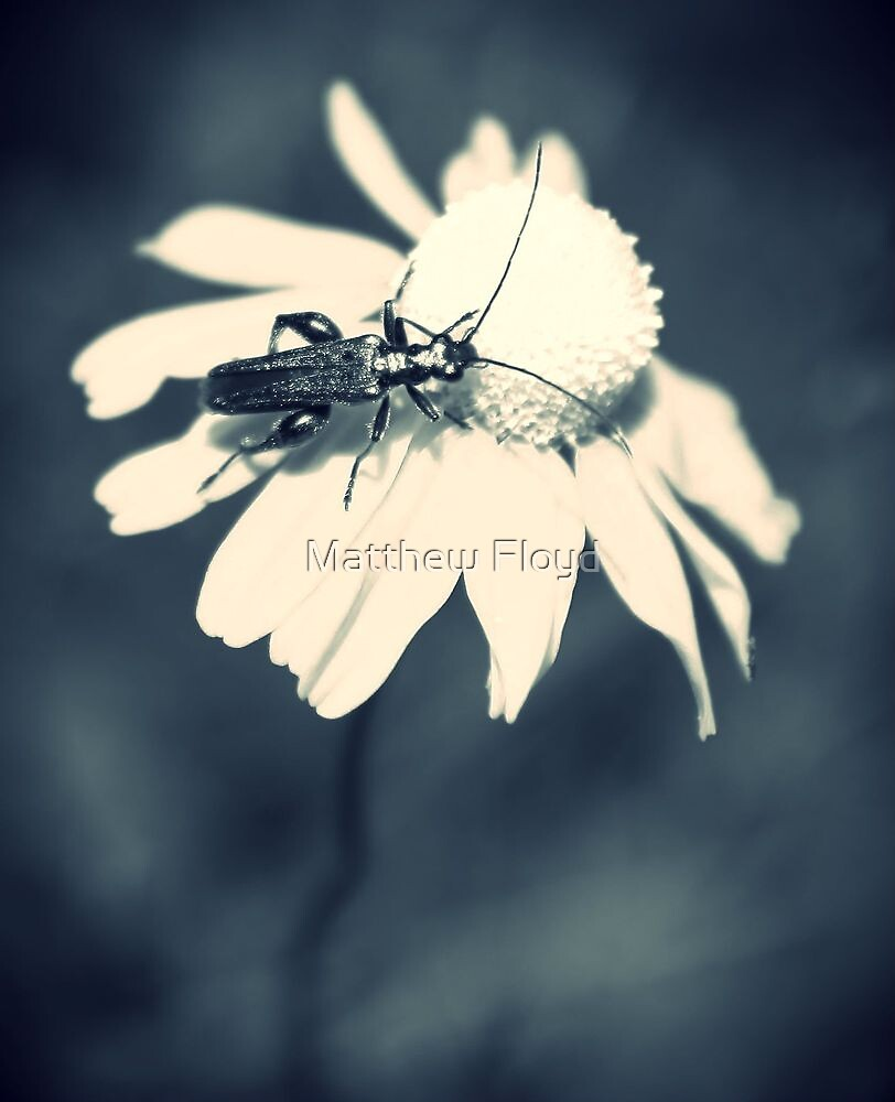Thick-legged Flower Beetle on a Daisy #2 by Matthew Floyd