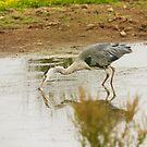 Heron Catching Fish by kernuak
