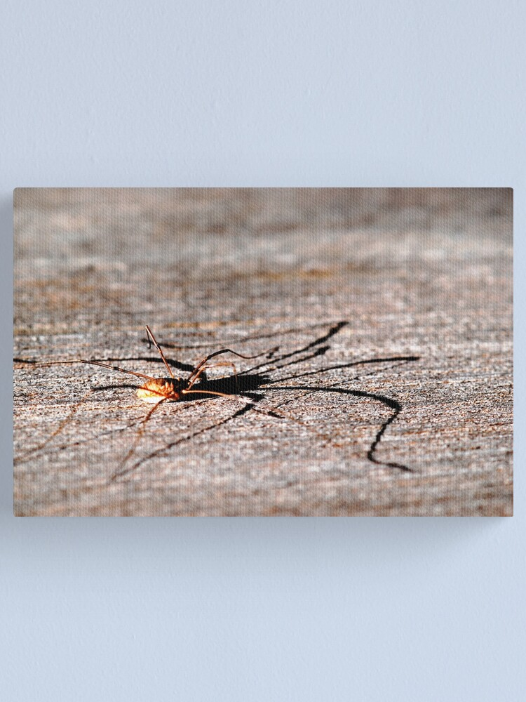 Alternate view of Daddy Long Legs Canvas Print
