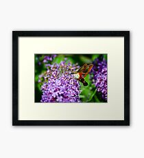 Hummingbird Clearwing on Butterfly Bush Framed Print
