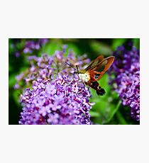 Hummingbird Clearwing on Butterfly Bush Photographic Print