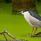 Black Crowned Beauty by jimHphoto