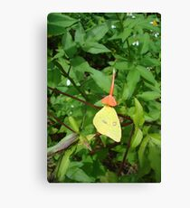 Cloudless Sulphur butterfly in Mahogany Vine Canvas Print