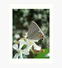 Gray Hairstreak on Jasmine Art Print