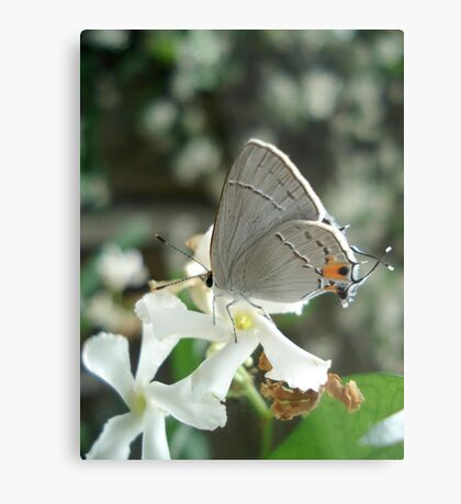 Gray Hairstreak on Jasmine Metal Print