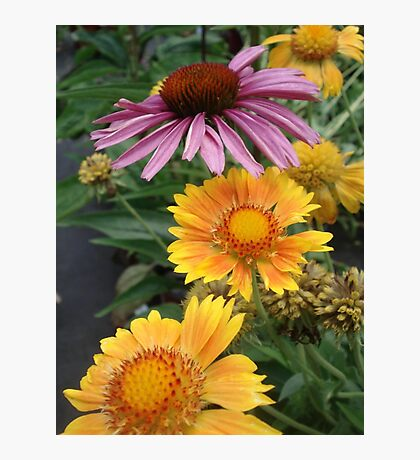 Coneflower and Indian Blankets Photographic Print