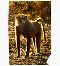 Olive Baboon Poster
