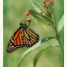 Monarch Butterfly on Butterfly Weed by Lynne Small