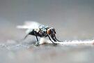 Fly Feasting by MarjorieB