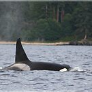 British Columbia Killer Whale by Tracey Ross