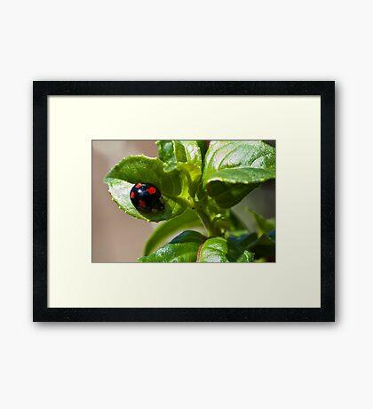 Harlequin ladybird Framed Print