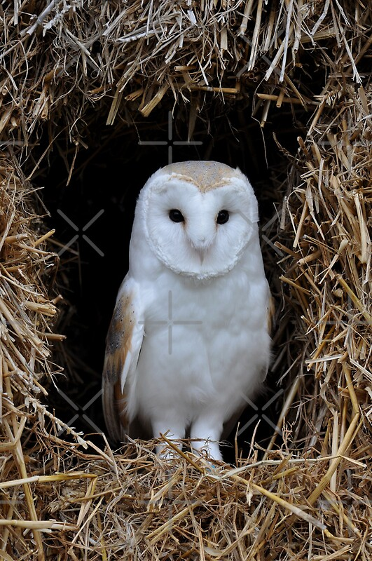 Quot Beautiful Barn Owl Quot By Apeart Redbubble