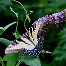 Eastern Tiger Swallowtail (Papilio glaucus) by plunder