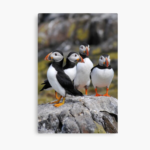 Puffin Group Canvas Print