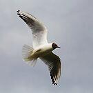 Black Headed Gull by SWEEPER