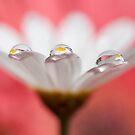 Daisy dream III by Melinda Gaal