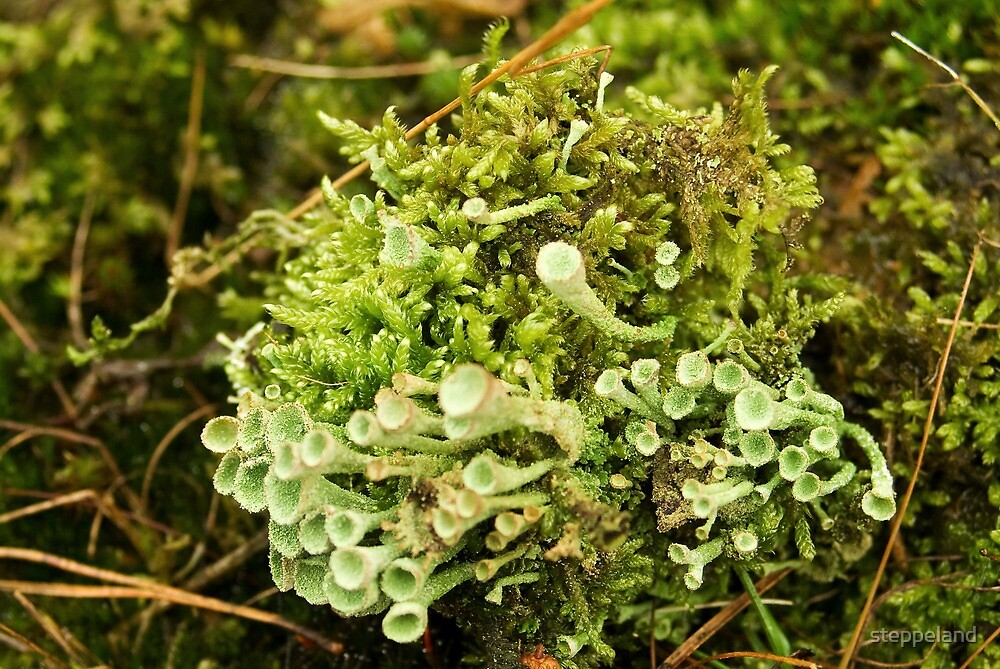 Little cups of Cup Lichen  by steppeland