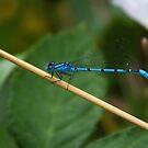 Blue Grass Dartlet by Dean Messenger