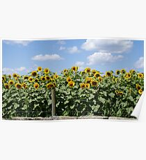 Yellow Sunflowers behind Stone Wall Poster