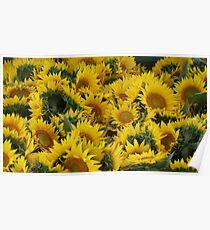 Yellow Sunflowers! Poster