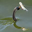 Anhinga with catch of the day!(I`ve got you!) by jozi1