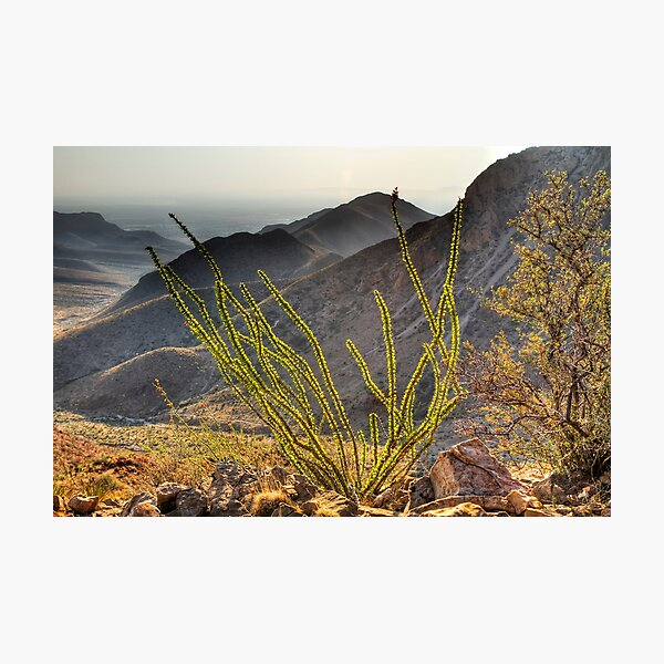 An Ocotillo in the Franklin Mountains Photographic Print