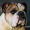 Pug, Bulldog or Mastiff Portrait (head only)