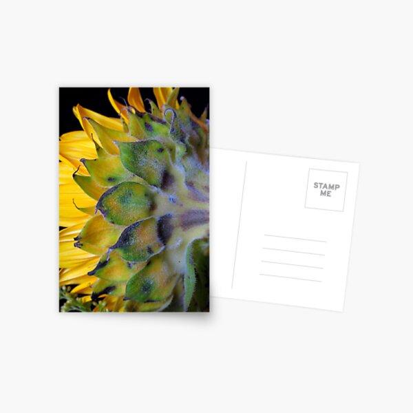 Sunflower, turns away! Postcard