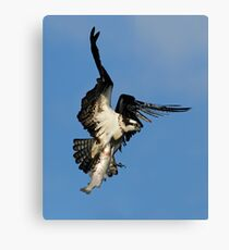 Osprey (Pandion haliaetus) Canvas Print