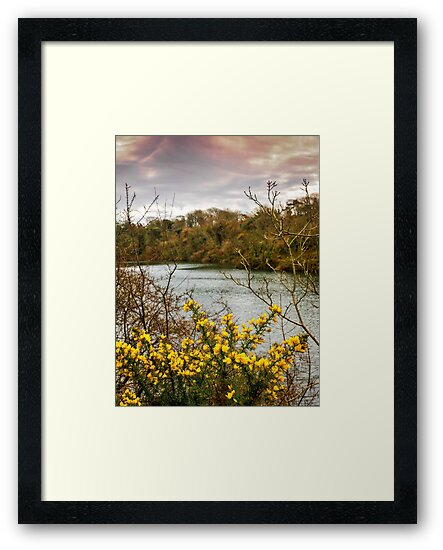 Yellow Gorse by mlphoto