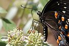Swallowtail Sipping On Mountain Mint by NatureGreeting Cards ©ccwri