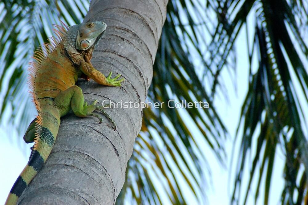 Iguana by Christopher Colletta