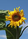 Sunflower by Carol Bleasdale