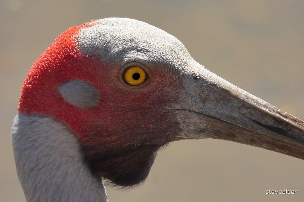 Brolga - Up Close by stevealder