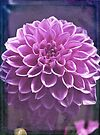 Dahlia Delight by Astrid Ewing Photography