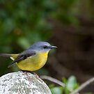 Eastern Yellow Robin by Will Hore-Lacy