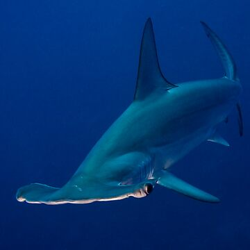 Hammerhead by underwaterart