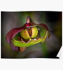 Pitcher Plant Poster