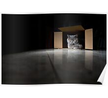 British Blue Cat in a Box Poster