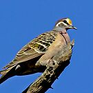 Bronzewing On High by Rick Playle