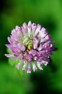 Sweet Red Clover With A Sting by MarjorieB