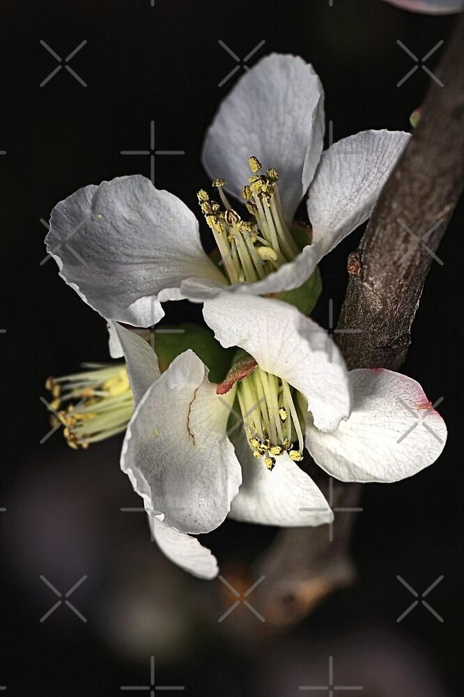 Blossoms by Joy Watson