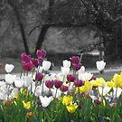 Selective Coloring Tulips by Linda Miller Gesualdo