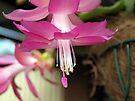 Pink Zygo Cactus by W E NIXON  PHOTOGRAPHY