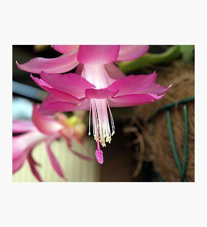 Pink Zygo Cactus Photographic Print