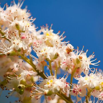 Macro of blooming Aesculus by ArlettaCwalina