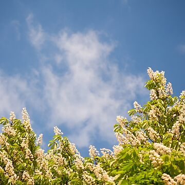 Blossoming Aesculus tree on blue sky by ArlettaCwalina
