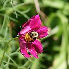 "Bumble Bee 2 ""lunch break"" by Jason Dymock Photography"